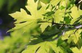 Welke insecten oorzaken 1/4-Inch Diameter gaten in Maple bomen?