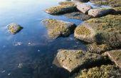Wat eet algen in een voedselketen?