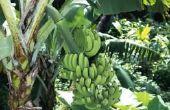 Hoe bewaart u een bananenboom voor de Winter