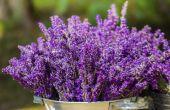 Hoe om te oogsten van lavendel