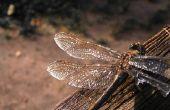 Hoe te identificeren grote vliegende insecten