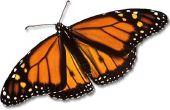 Het behouden van een dode vlinder