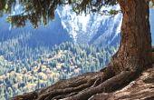 Zijn de wortels van een ceder boom Deep?