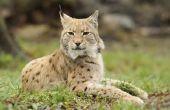 Wat zijn de gevaren van Bobcats voor de mens?