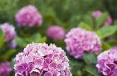 Dwerg hortensia's voor zon