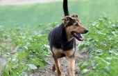 Tekenen en symptomen van de problemen van de schildklier bij honden