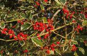 Wanneer krijgt een boom Holly bessen?