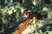 Is een Rode Panda slaapstand of migreren bij koud weer?