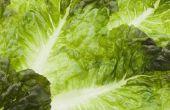 How to Grow Hydroponic Sla