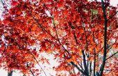 Hoe te snoeien van een boom van de rode esdoorn