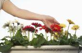 How to Cure Gerbera Daisy schimmel