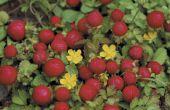 Hoe om aardbeien planten Water