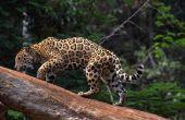 Hoe teken je een scène van de Jungle met dieren & planten