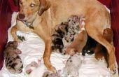 Wanneer moet u een zwangere vrouwelijke hond ontwormen?