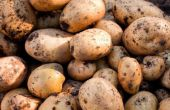 How to Grow Yukon Gold aardappelen