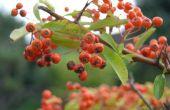 Berry blad struik identificatie