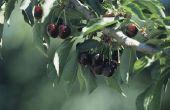 Lijst van zelf bestuiven Cherry bomen
