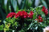 Wat te gebruiken voor het doden van kleine witte wormen op Geranium planten