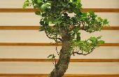 Plant verzorging van binnen Bonsai