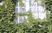 Caterpillar schade aan Algerijnse Ivy