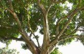 Identificatie van een vijgenblad boom