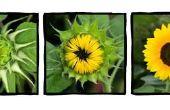 Wanneer te planten zonnebloem planten