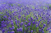 How to Grow lavendel uit stekken