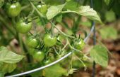 Vlees-en beendermeel, kan worden gebruikt als een plantaardige meststoffen?