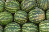 Hoe weet ik wanneer de watermeloen rijp zijn