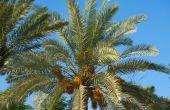 Hoe de zorg voor een ananas-Palm