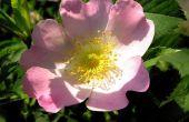 Wanneer een Rose Bush verliest bladeren
