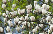 Magnolia bomen verliezen hun bladeren?