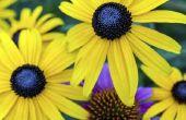 De verschillen in een Black-Eyed Susan & een zonnebloem