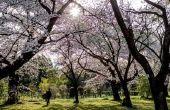 Lijst van Japanse bomen