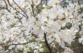 Zuidelijke Magnolia boom feiten