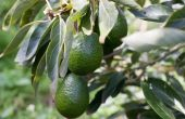Hoe maak je een Avocado boom Bear Fruit