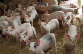 Gemeenschappelijke rassen van varkens