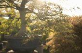 Hoe een gewone boom tot Bonsai Pot