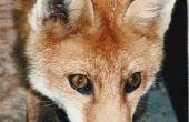 Hoe maak je een Fox oor hoed