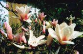 Magnolia parasieten