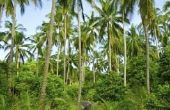 Hoe bemesten palmbomen in Florida