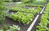 Welke groenten te planten naast elkaar