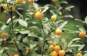Hoe aan Bonsai een oranje boom