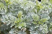 Wat zijn Rue planten voor gebruikt?