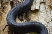 Het verschil tussen een zwarte slang & een Racer