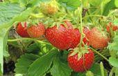 Welke kenmerken heb aardbeien?