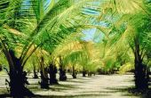 Hoe de zorg voor een Robellini Palm