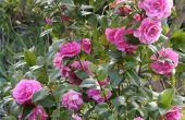 How to Take Care van Rose struiken