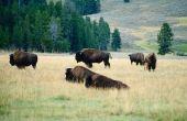 Buffalo ambachtelijke ideeën