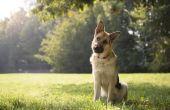 Symptomen van een hond die overlijden aan het Parvo